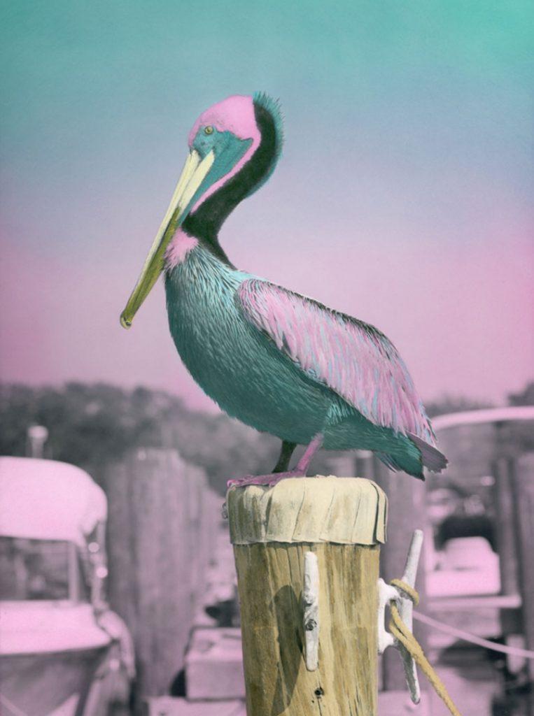 Pinkus-Pelicanus-4×3