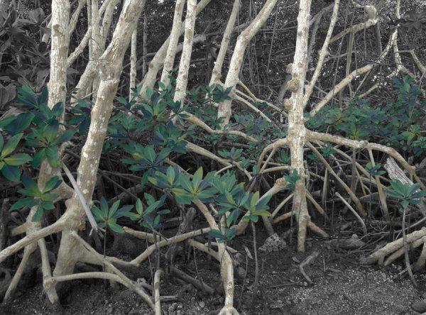 white-mangrove-